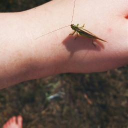 grasshopper closeup bugs