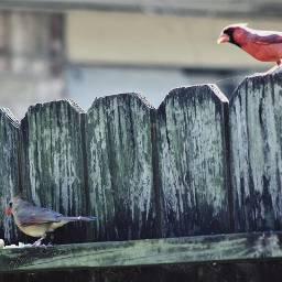 thingsinmybackyard redbird fences cardinal birds freetoedit