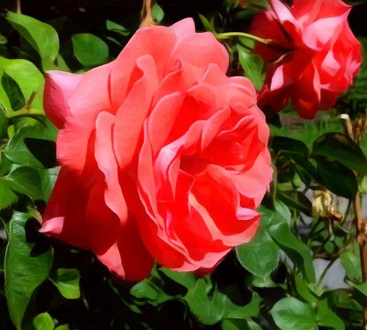 freetoedit rose flowers garden summer