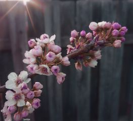 freetoedit blossomingtrees myoriginalphoto