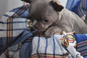 freetoedit puppy chihuahua little photo